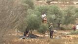 oliveharvest2